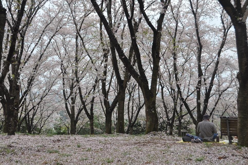harisakura11.jpg