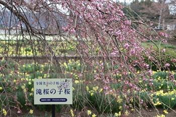 4/8 三春の滝桜の子桜 実相寺