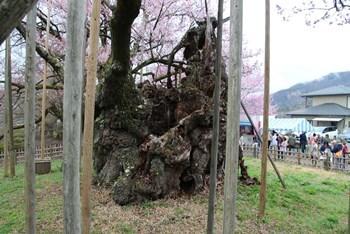 4/8 山高神代桜 根元 横側  実相寺