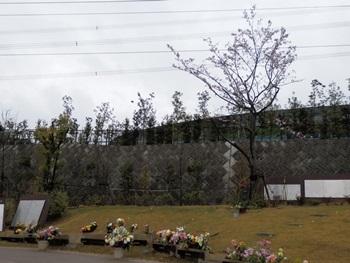 4/9 桜葬 いずみ浄苑