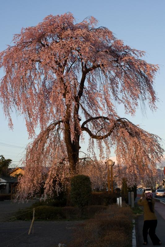 枝垂れ桜_9557