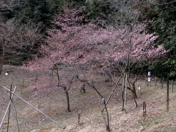桜(河津桜)20170214-1-a