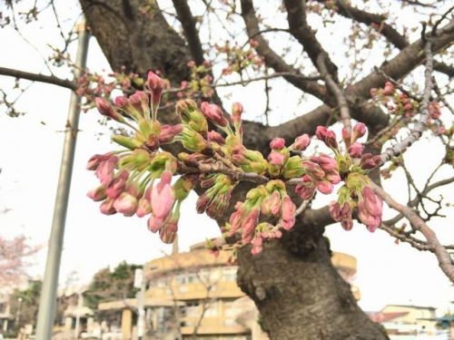 2017-04-05もうすぐ開花