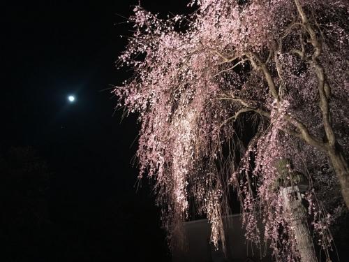 2017-04-10しだれ桜