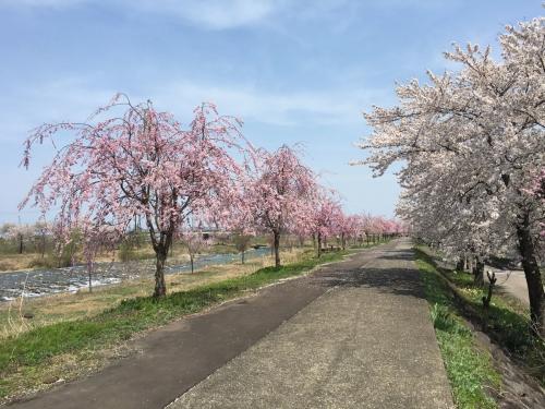 2017-04-16矢代川桜並木