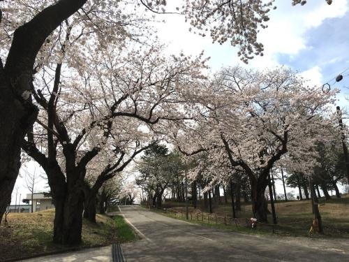 2017-04-21松ケ峰桜1