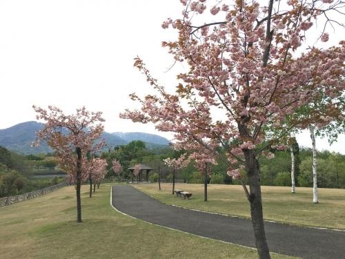 2017-05-03八重桜