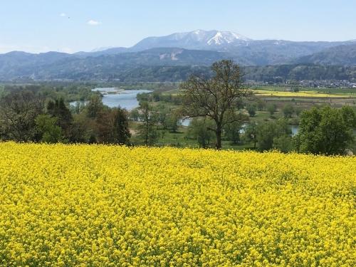 2017-05-04菜の花畑3