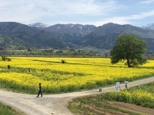 2017-05-04菜の花畑2
