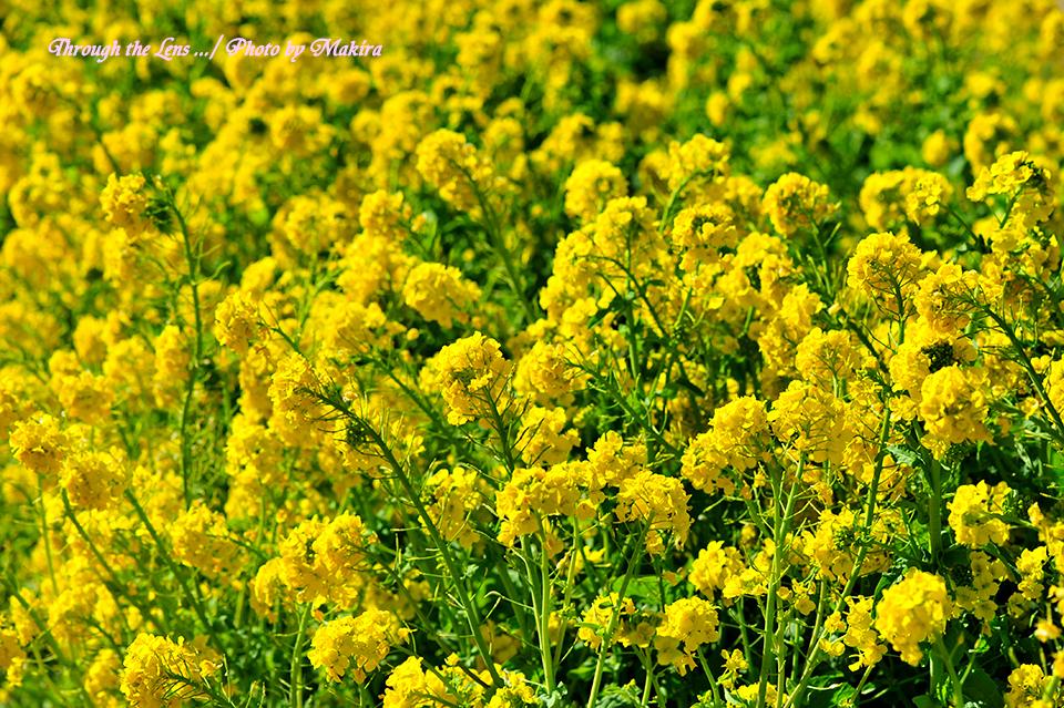 寒咲き菜の花1