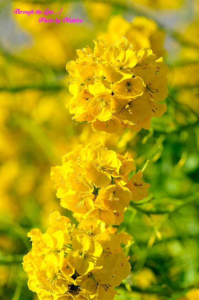 寒咲き菜の花3