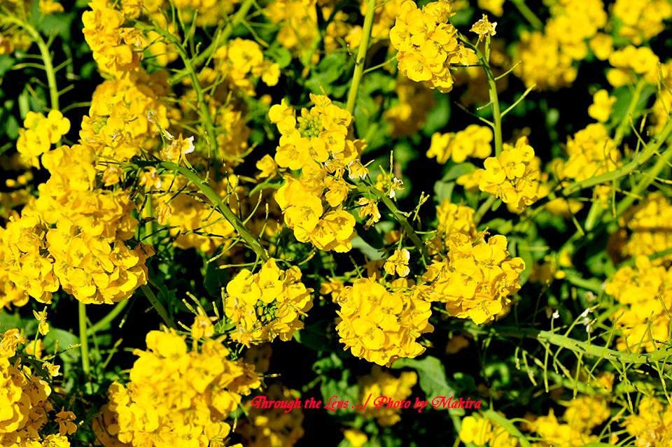 寒咲き菜の花5