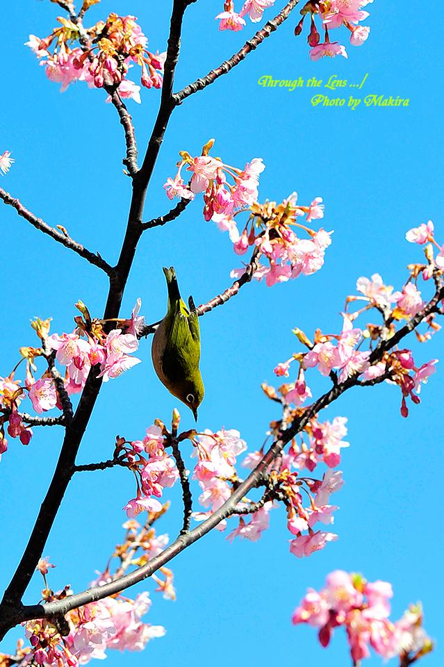河津桜とメジロ2