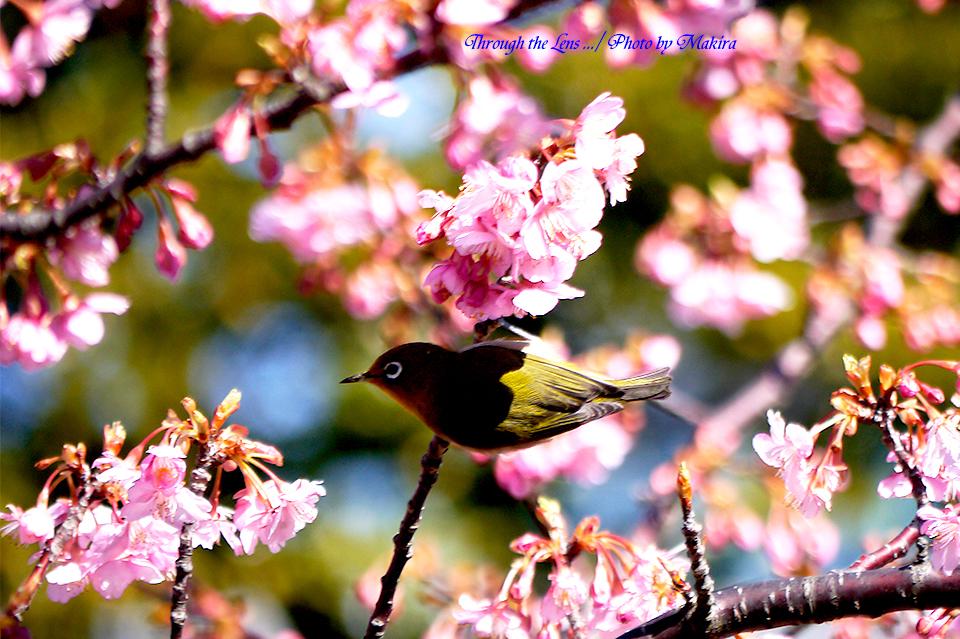 河津桜とメジロL5