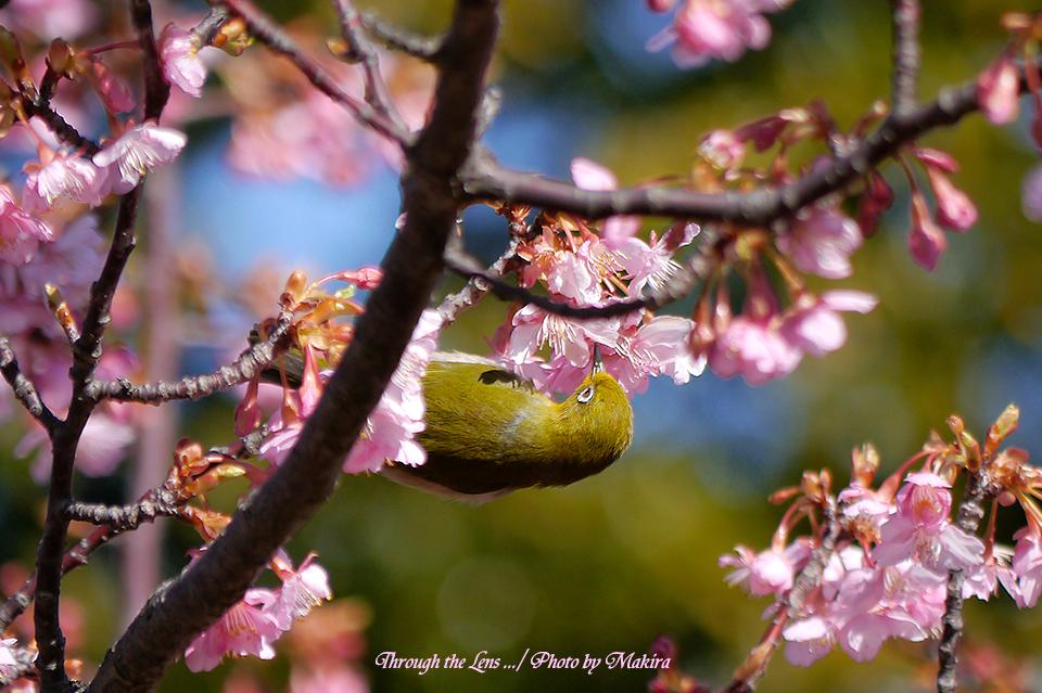 河津桜とメジロL6
