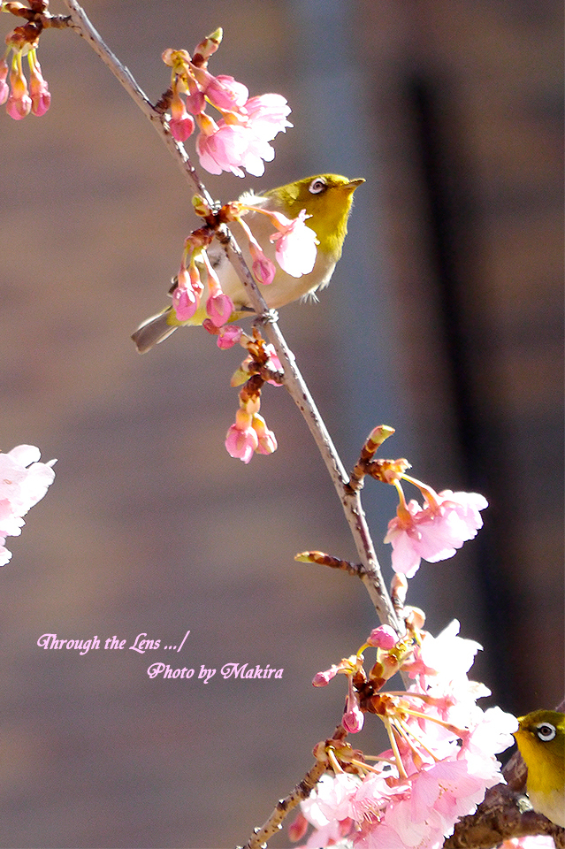 河津桜とメジロL1