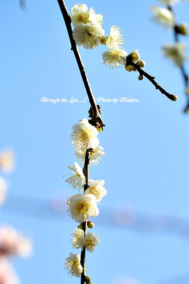 緑萼枝垂(リョクガクシダレ)2