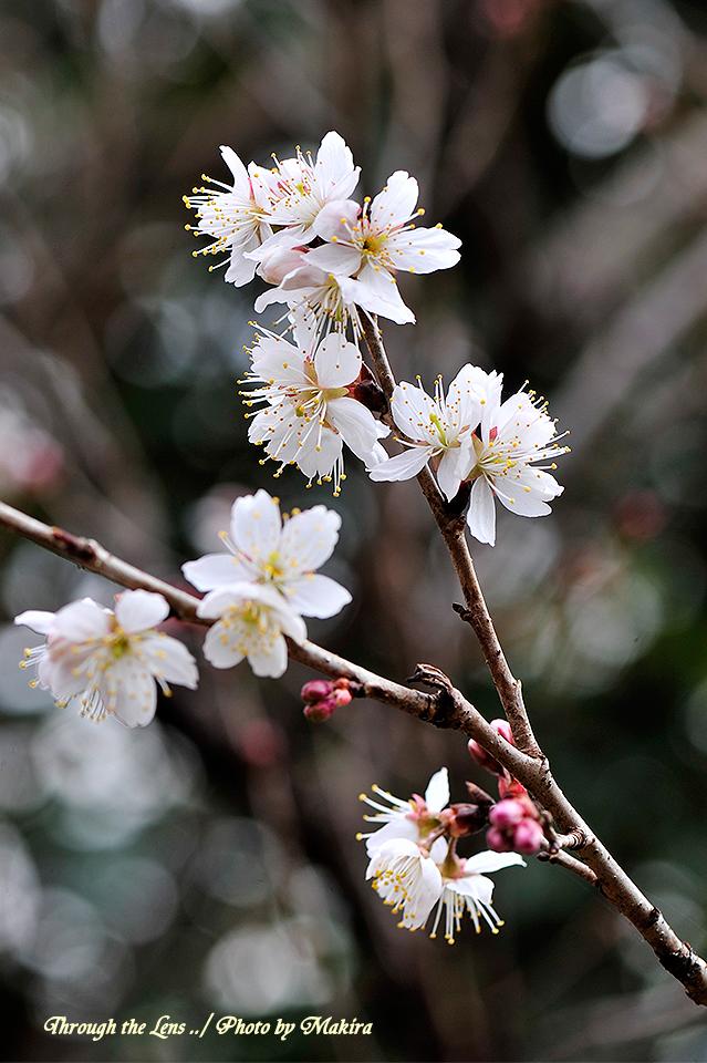 シナミザクラ'暖地桜桃'1