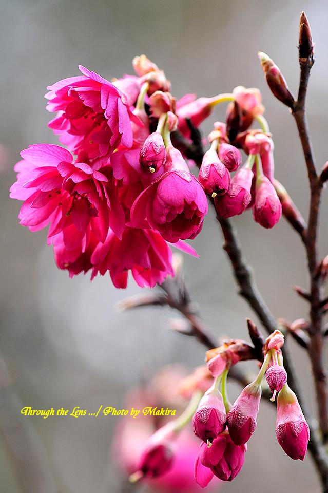 八重寒緋桜(ヤエカンヒザクラ)2