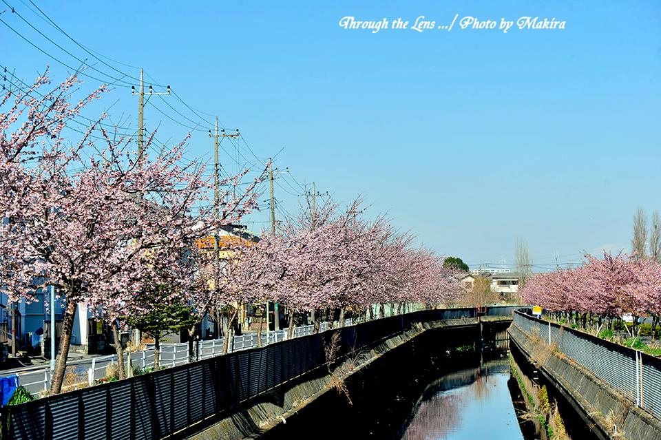 安行桜と河津桜1