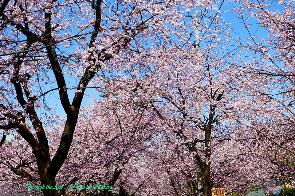 参道と安行桜TZ5