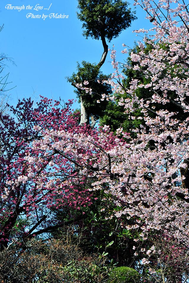 安行桜と寒緋桜1