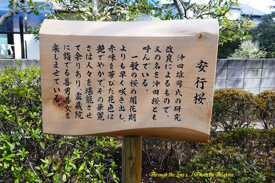 安行桜説明TZ1