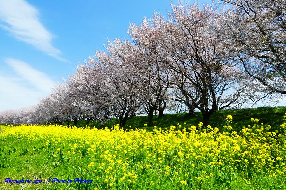 桜と菜の花TZ1