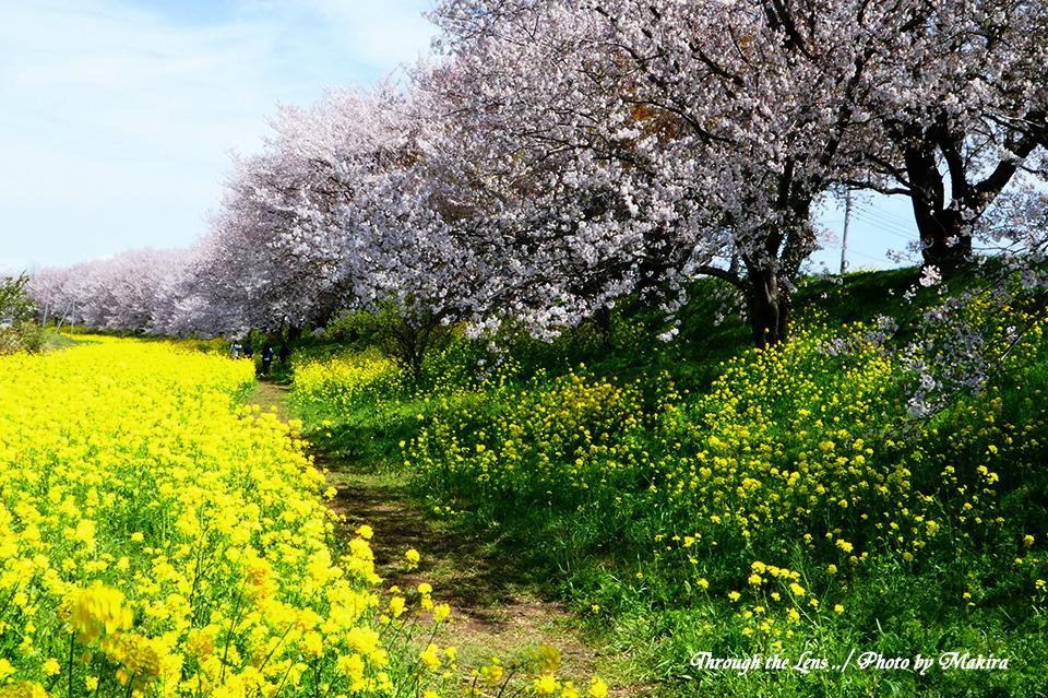 桜と菜の花TZ3
