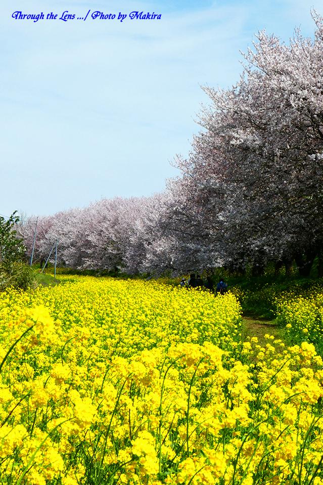 桜と菜の花TZ2