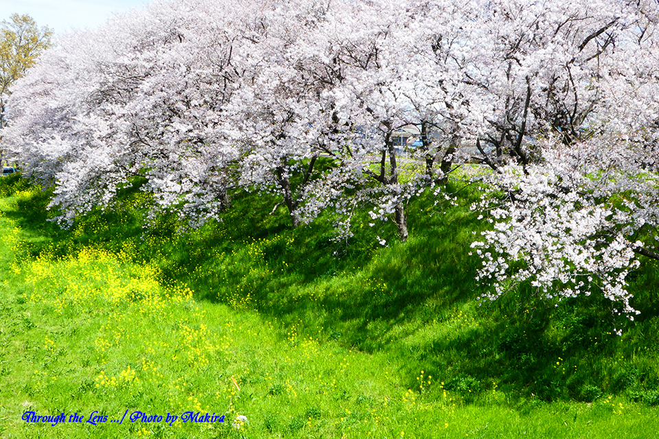 桜と菜の花TZ4