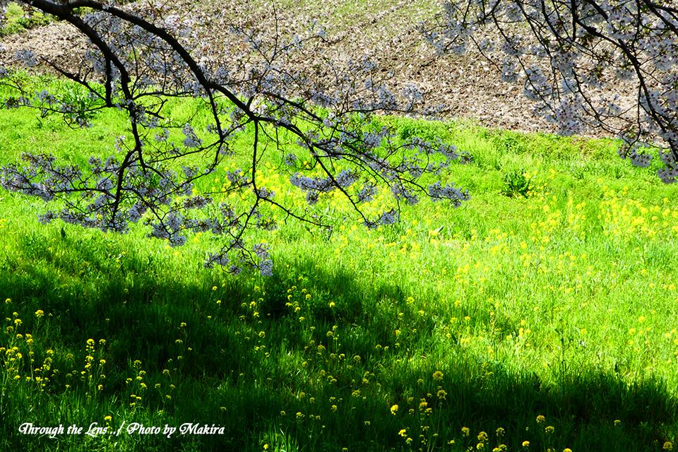 桜と菜の花TZ5