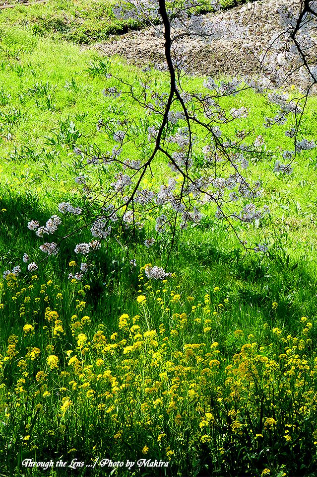 桜と菜の花TZ6