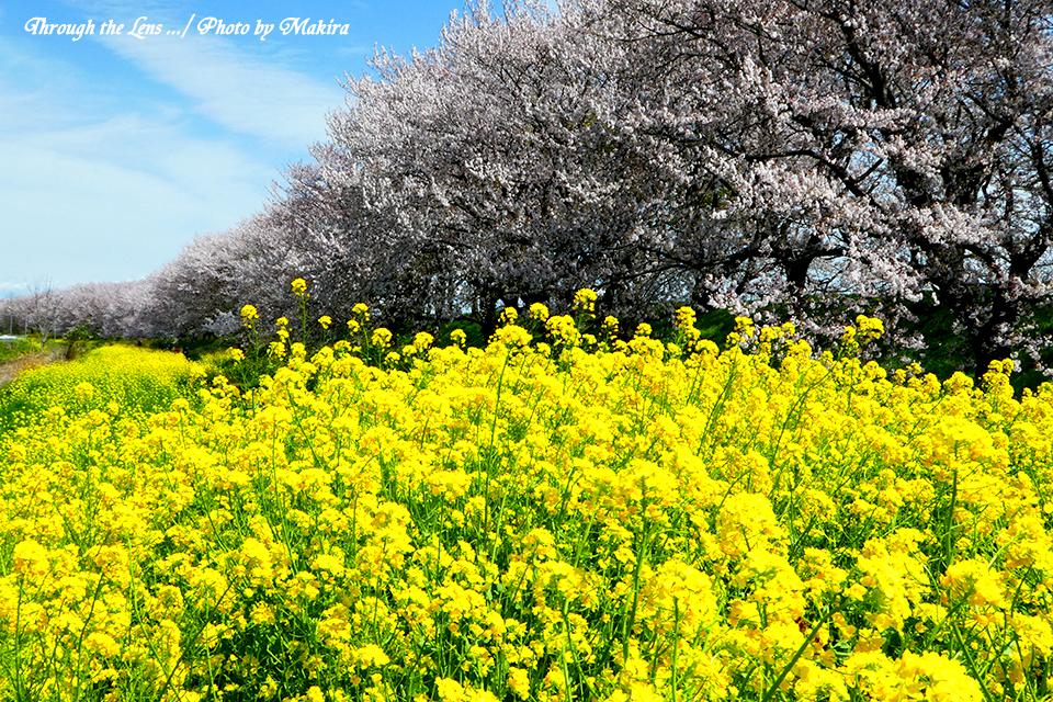 桜と菜の花TZ7