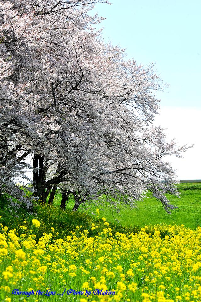 桜と菜の花8