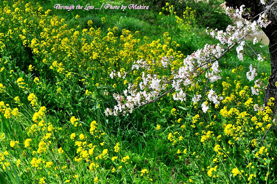 桜と菜の花10