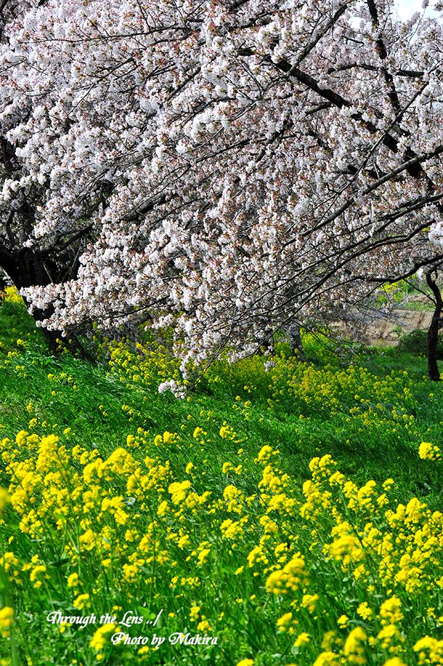 桜と菜の花9