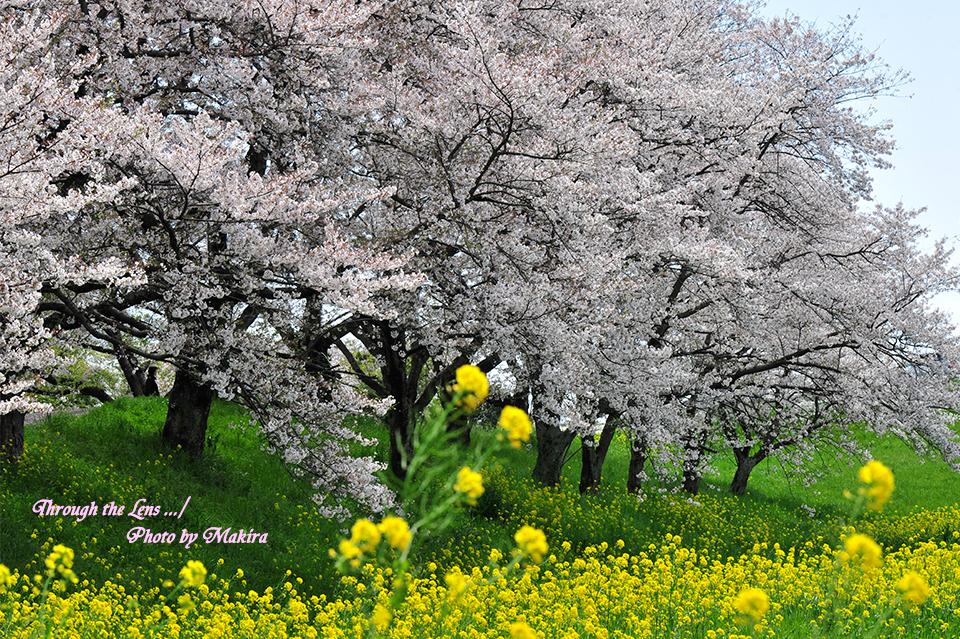 桜と菜の花12