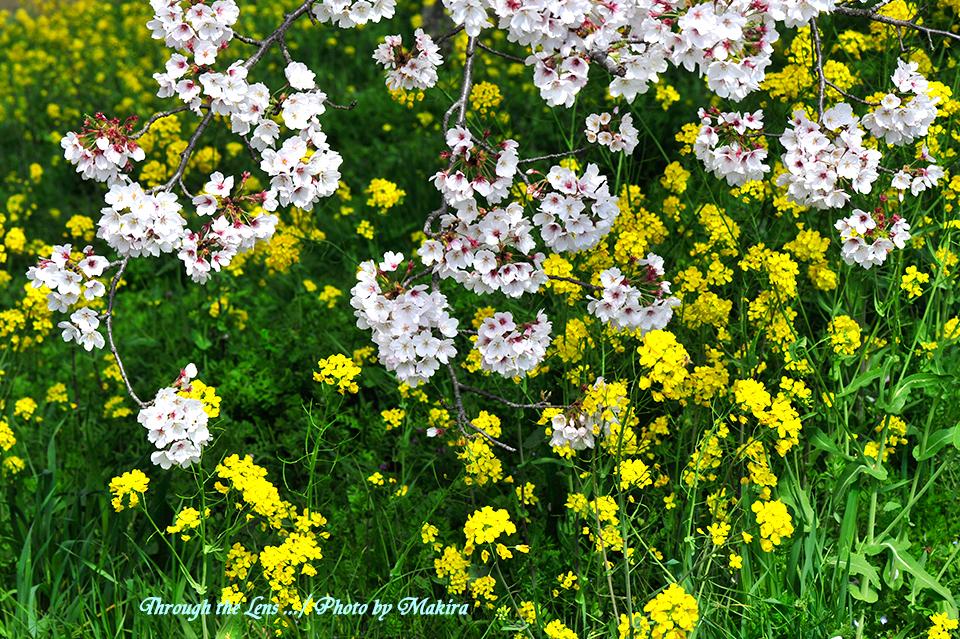 桜と菜の花11