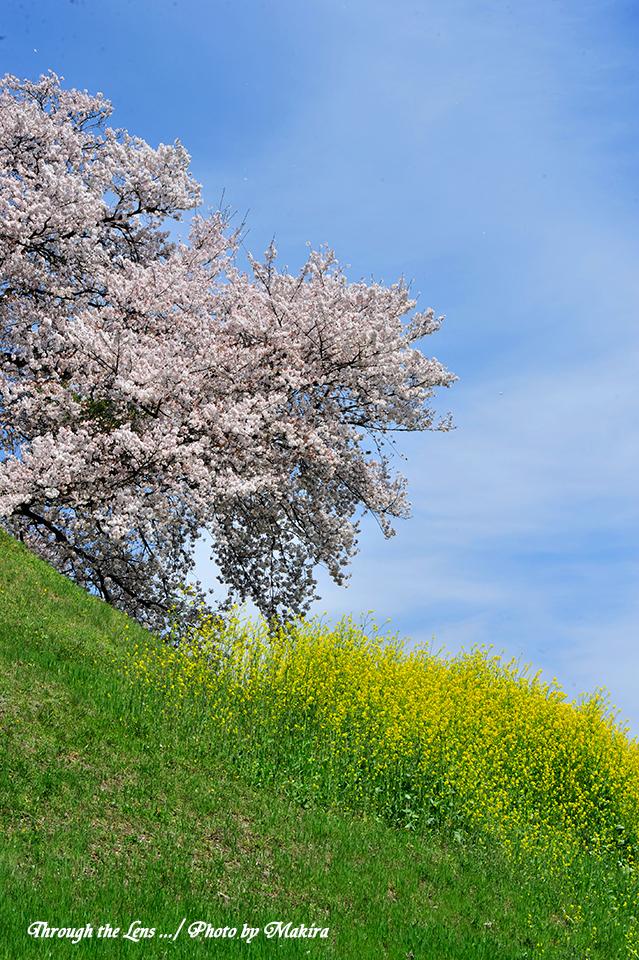 丸墓山古墳と桜4
