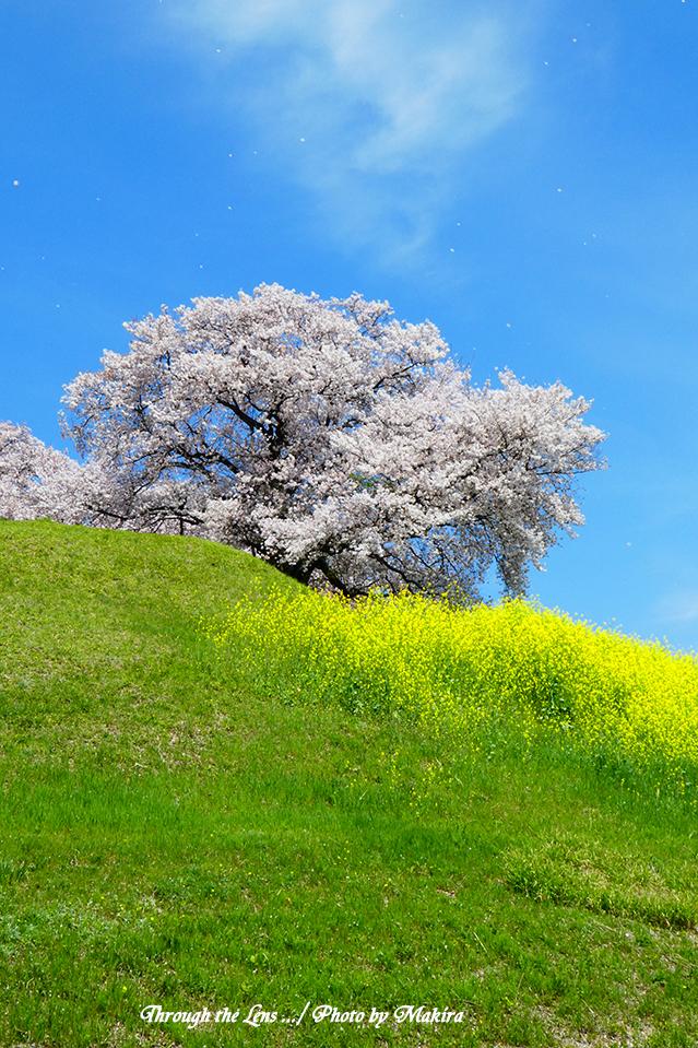 丸墓山古墳と桜TZ3