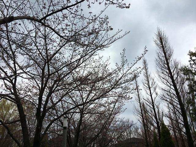 2017年4月1日東京桜1 by占いとか魔術とか所蔵画像