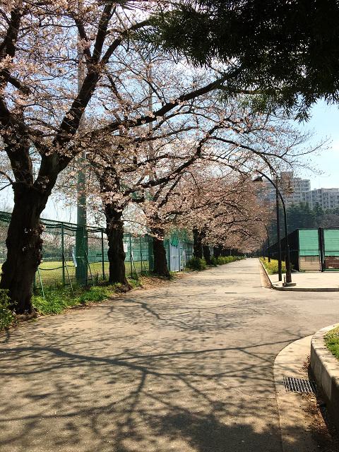 2017年4月3日五分咲きの東京桜2 by占いとか魔術とか所蔵画像