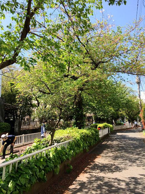 完全に青葉になった2017年の東京の桜4 by占いとか魔術とか所蔵画像