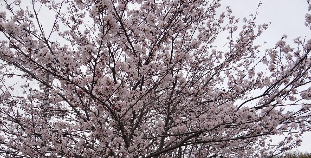 桜2017-4-9