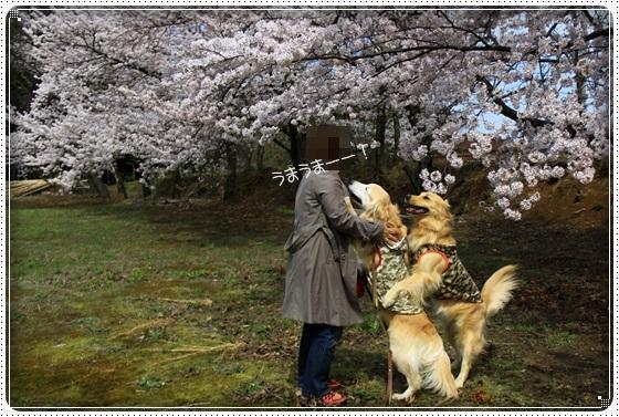 2017,4,10桜3
