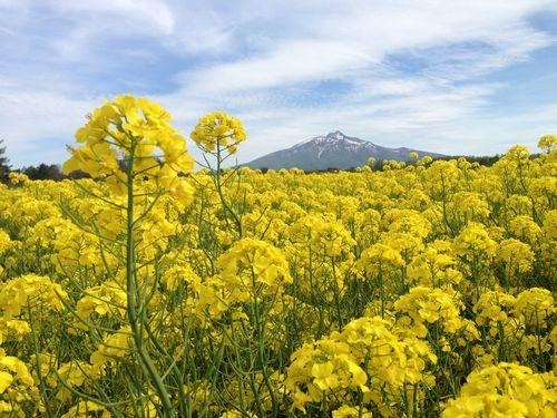 004菜の花畑④