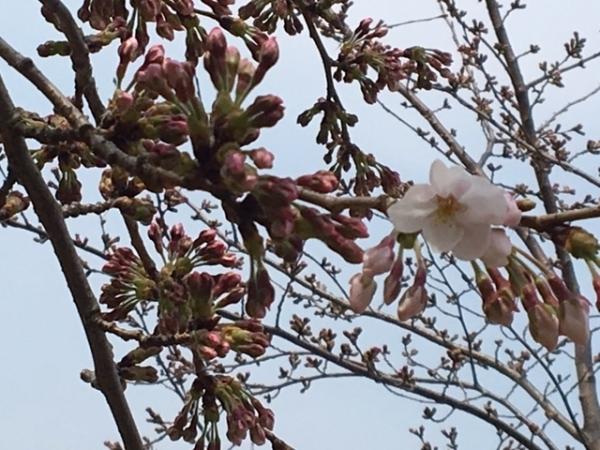 0330桜①