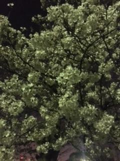 夜桜。さくら。