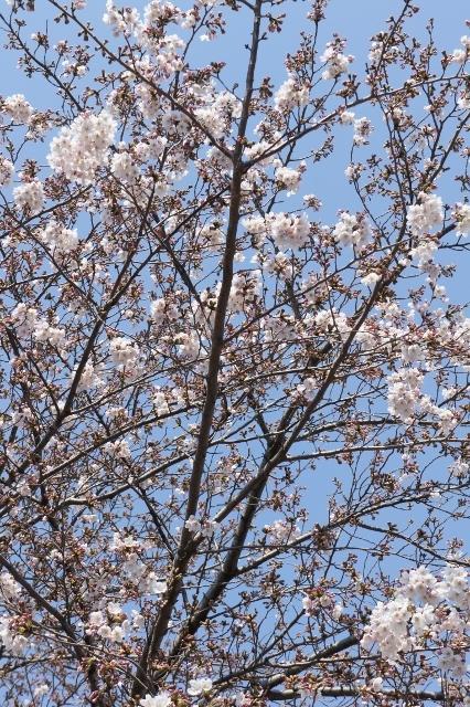 桜パトロール ① 4